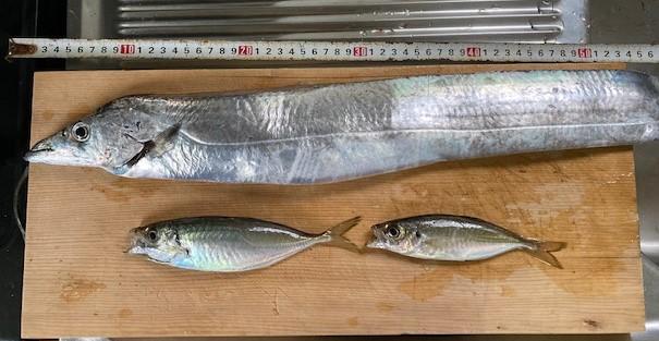 釣果(太刀魚とアジ)の写真
