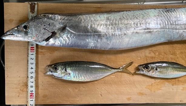 太刀魚にスケールを当てて太さを示した写真